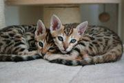 Menschenbezogene agile Bengal Kitten in