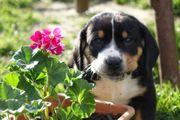 Welpen Entlebucher Sennenhund