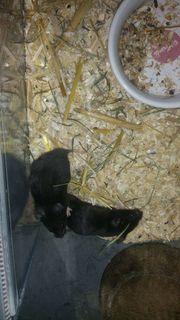 13 kleine Goldhamster Babys zur