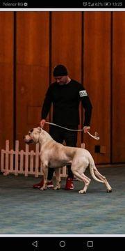 Ares de Konibo Dogo Argentino