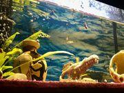 Guppie Aquarium