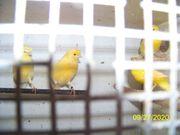 Ich biete Kanarien Vögel vier