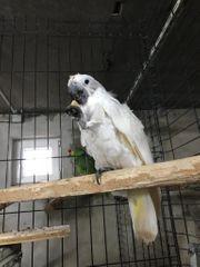 Kakadu Hybrid Gelbhaube Weishaube