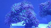 Euphyllia paraancora lila grün