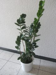 Glücksfeder Dieffenbachia Dreikantkaktus Yuccapalme Bogenhanf