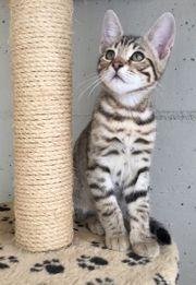 Kitten Bengal Mix Wunderschön In