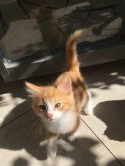 Ragdoll Norwegische Waldkatze Kitten