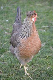 Cream Legbar - Hennen