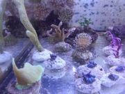 Meerwasser Korallen Scheibenanemone Sps Sps