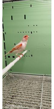 Kanarienvogel Rot - Weiss - Mosaik Hahn