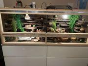 4 Leopardgeckos mit Terrarium viel