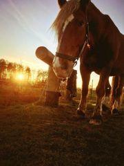 kaltblut sucht Reitbeteiligung Pferd sucht