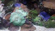 Meerwasser Scheibenanemone