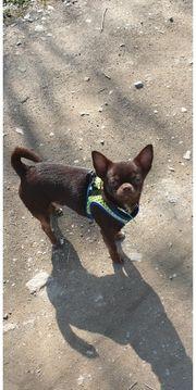 Sehr schöner typvoller Chihuahua Deckrüde