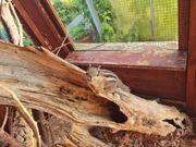 Junge chin Baumstreifenhörnchen ab sofort