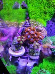 Viele schöne zoas zoanthus meerwasser