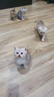 Britisch Kurzhaar Scottish Fold kitten