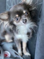 Chihuahua Deckrüden Blue tan mit