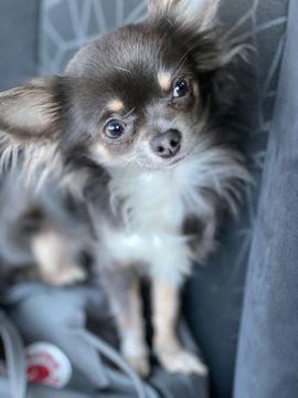 Chihuahua Deckrüden Blue tan mit Husky Nase