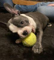 Franzosischer Buldogge 4 Monate alt