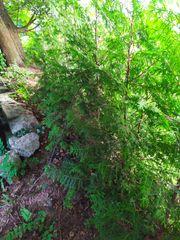 Thujen Lebensbäume