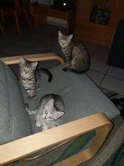 Britisch kurzhaar - Mix kitten abzugeben