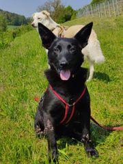 Süße kleine schüchterne kroatische Schäferhund