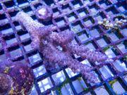 Korallen von CoralPlanet SPS