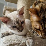 Unsere Reinrassige Bengal Katze hat