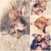 Chihuahua Welpe Hündin kurzhaar