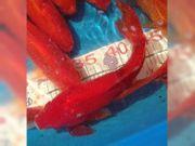 GOLDFISCHE RED COMET 15-20 cm