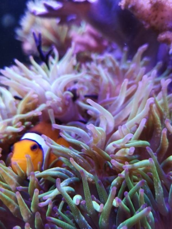 Nemo sucht neues Zuhause Clownfisch