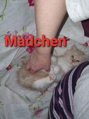 Noch 3 Maine Coon Kitten