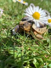Breitrand Baby Schildkröten