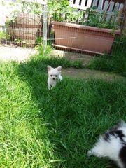 Pomchi - Pomeranian Zwergspitz x Chihuahua