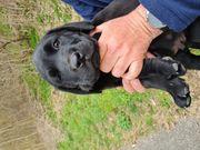 Verkaufe Labrador welpen