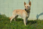 TIENA Weißer Schäferhund Labrador Mix