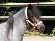 Shettys Esel Ponys Fahr- und