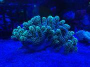 Korallen Ableger - Stylophora Pistillata grün