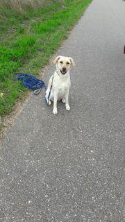 Labradorhündin zu verkaufen