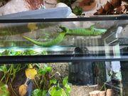 Madagaskar Taggecko mit Terrarium zu