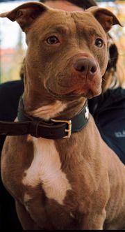 Kleines Rednose American Pitbull Terrier