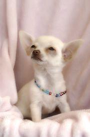 Kleinen Chihuahua Welpe