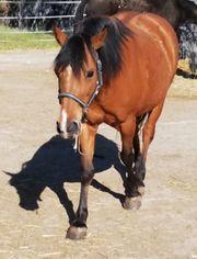 Reitbeteiligung für westerngerittenes pony mit