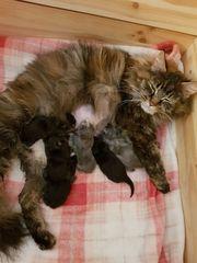 Maine Coon Kitten XXL