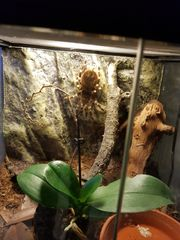 Acanthoscurria geniculata Weibchen 0 1