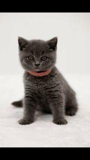 suche Bkh oder blh kitten