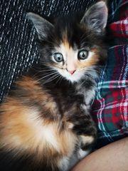 Reinrassige Main Coone kitten