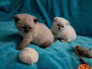 BKH Scottich Fold Kitten mit