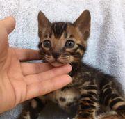 wunderschön bengal kitten KATER mit